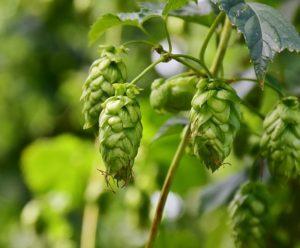 ビールの原料のホップ